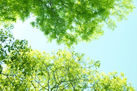 Fresh green leaves of zelkova trees and blue sky