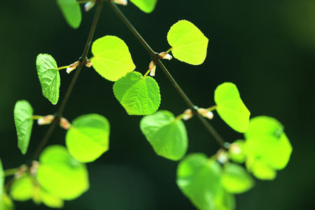 young leaves: Young leaves of cercidiphyllum japonicum