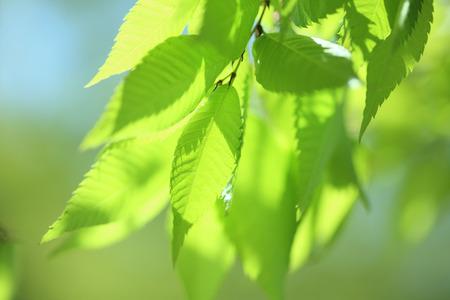 느티 나무의 새 잎사귀 마키노