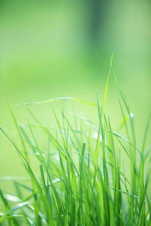 meadow  grass: Hierba de la pradera