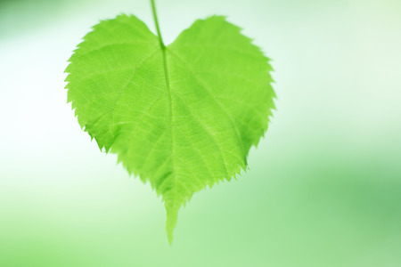 young leaves: Young leaves of the heart