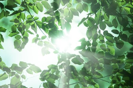 クマシデ属の葉 写真素材