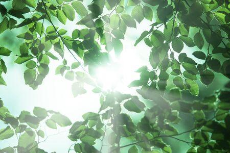 green plants: Carpinus leaves