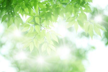 ケヤキの新緑 写真素材