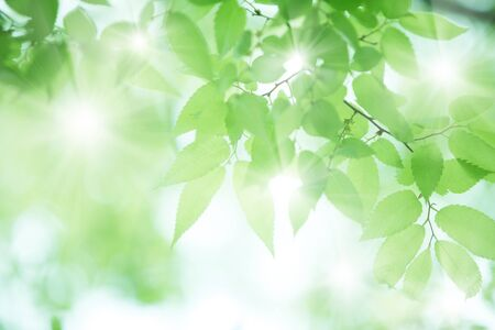 gleaming: Fresh green leaves of zelkova serrata Makino Stock Photo