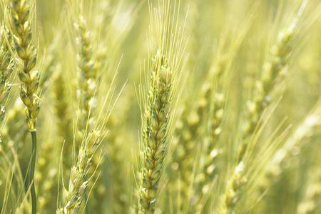 小麦 写真素材 - 40106492
