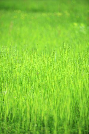 meadow  grass: Meadow grass