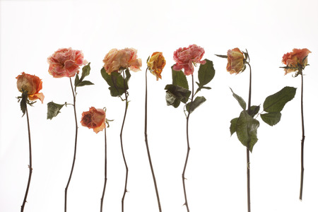 flores secas: flores de rosas secas