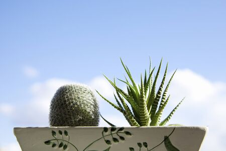potted plant cactus: Cactus and blue sky