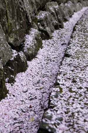 grooves: Grooves petals scattered cherry blossoms flows Stock Photo