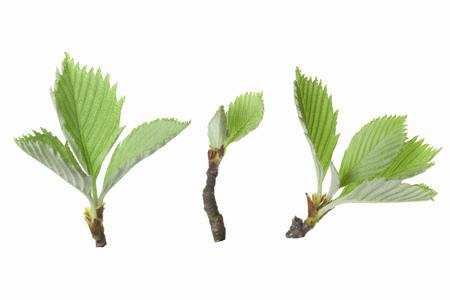 sorbus: Sprout of Sorbus alnifolia