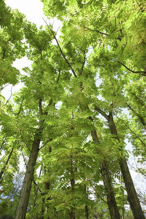 chanting: Australian chanting trees