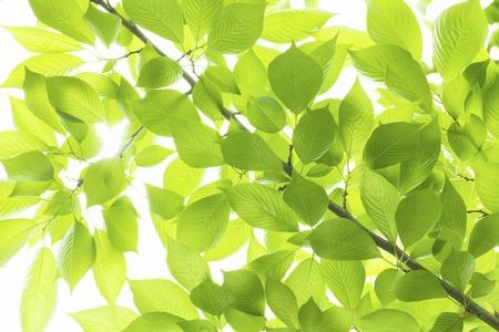 green plants: Cherry leaves Stock Photo