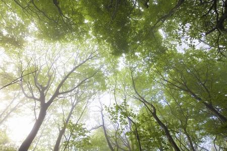 designated: Beech forest of fog Stock Photo