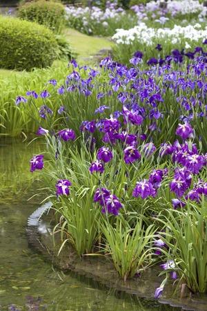 waterside: Johoku Japanese iris garden Stock Photo