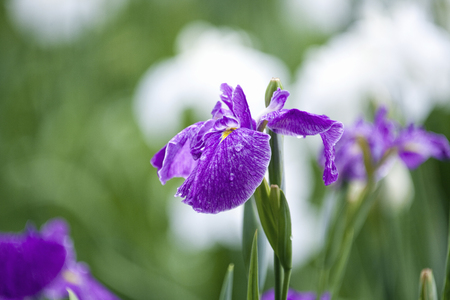 purple iris: Johoku Japanese iris garden Stock Photo
