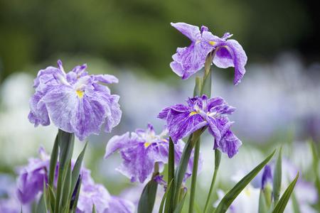 flor morada: Johoku iris japoneses jard�n Foto de archivo
