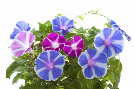 Potted morning glory