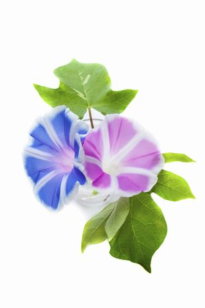 Morningglory of the white background