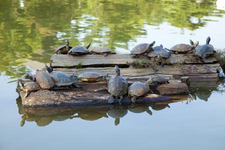 nara: Turtle of Nara Sarusawa pond