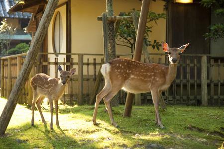 animal only: Parent-child deer of Nara Park to visit the inn
