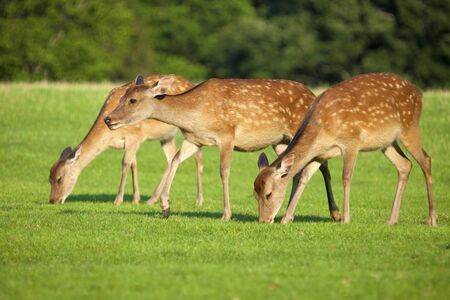 substantial: Deer of Nara Prefecture, substantial Stock Photo