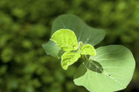 Shoots of soybean 写真素材