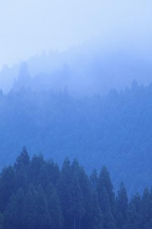 haze: Of morning haze cedar forest Stock Photo