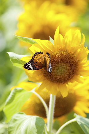 nymphalidae: Sunflower and Nymphalidae