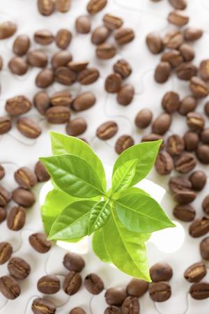 germinación: imagen de la germinación de las plántulas de café