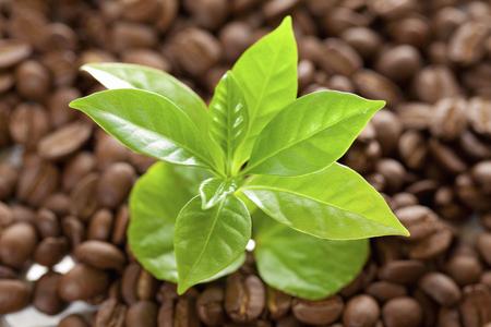 germinaci�n: imagen de la germinaci�n de las pl�ntulas de caf�