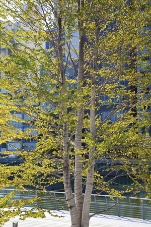 urbanscape: Katsura trees that have been planted grow in the city