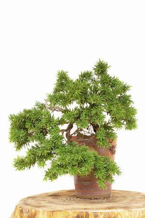 enebro: Juniper bonsai en maceta
