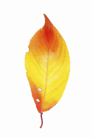 retardation: Cherry leaves Stock Photo