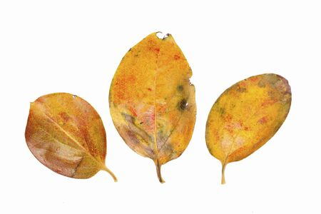 retardation: Fallen leaves of persimmon leaf