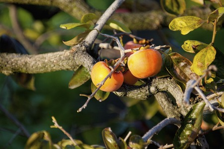 persimmon tree: Persimmon to become tree