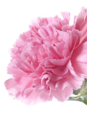 1: Carnation 1 book Stock Photo