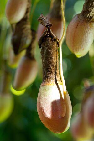 pitfall: Carnivorous plant