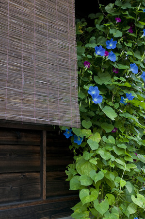 morning glory family: Blind and morning glory