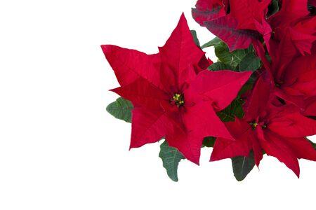 flor de pascua: Flor de Pascua