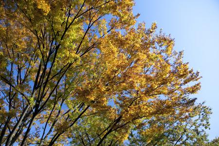 omotesando: Autumn leaves of Omotesando zelkova