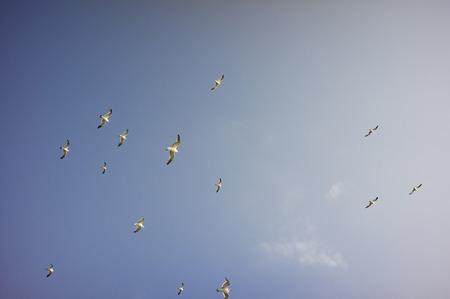 flock: Gull flock