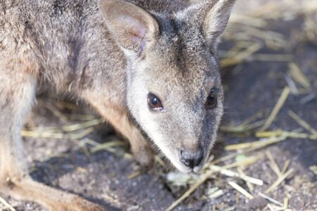 mammalian: Wallaby