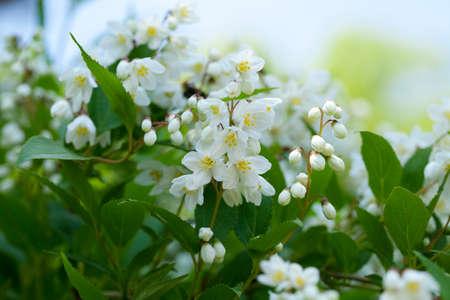 hydrangeaceae: UNOHANA
