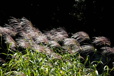 swaying: Pampas grass swaying in the wind
