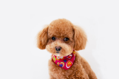 clarified: Poodle to be clarified Contact