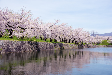 full      bloom: Sakura of water and full bloom