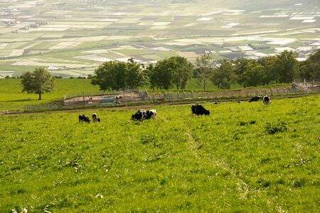 dairy cattle: Ranch and dairy cattle