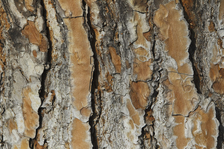 epidermis: Epidermis of pine Stock Photo