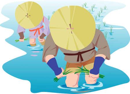 paddy field: Rice planting